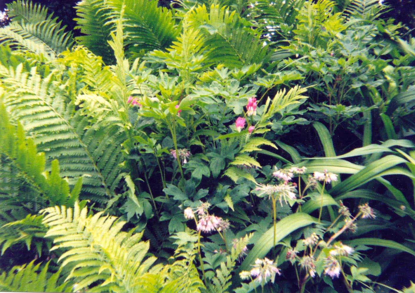 fernsnbleedinghearts2.jpg
